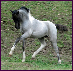 Blue Roan Paint Horses For Sale In Michigan